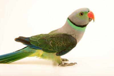 Photo: A male Malabar parakeet, Psittacula columboides, at Loro Parque Fundacion.