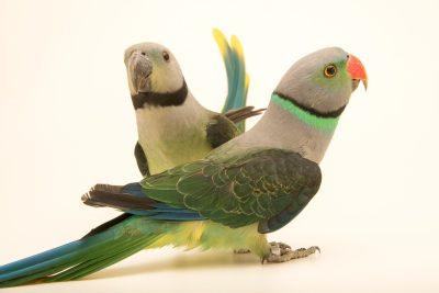 Photo: A male and a female Malabar parakeet, Psittacula columboides, at Loro Parque Fundacion.