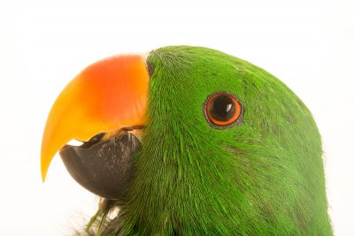 Photo: A male Aru Island eclectus parrot, Eclectus roratus aruensis, at Loro Parque Fundacion.