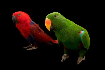 Photo: A male and a female Aru Island eclectus parrot, Eclectus roratus aruensis, at Loro Parque Fundacion.