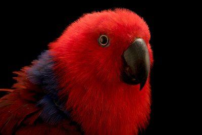 Photo: A female Aru Island eclectus parrot, Eclectus roratus aruensis, at Loro Parque Fundacion.