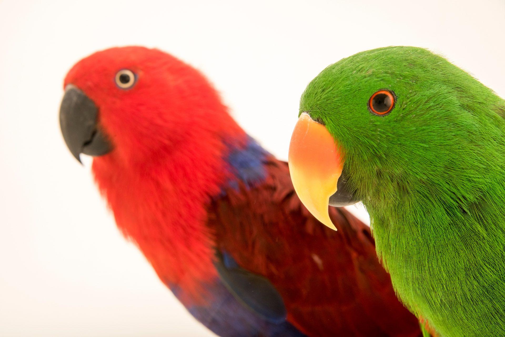 Photo: A male and a female Aru Island eclectus parrot, Eclectus roratus aruensis, at Loro Parque Fundacion.