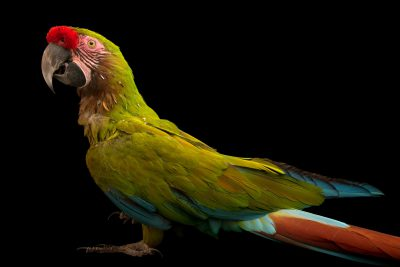 Photo: A Bolivian military macaw, Ara militaris boliviana, at Loro Parque Fundacion.