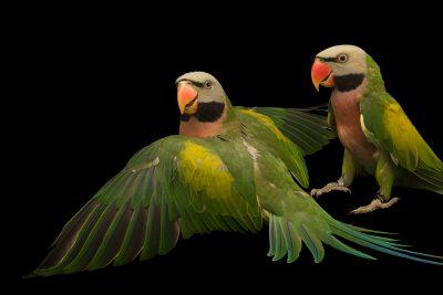 Photo: Moustached parakeets, Psittacula alexandri dammermani, at Loro Parque Fundacion.