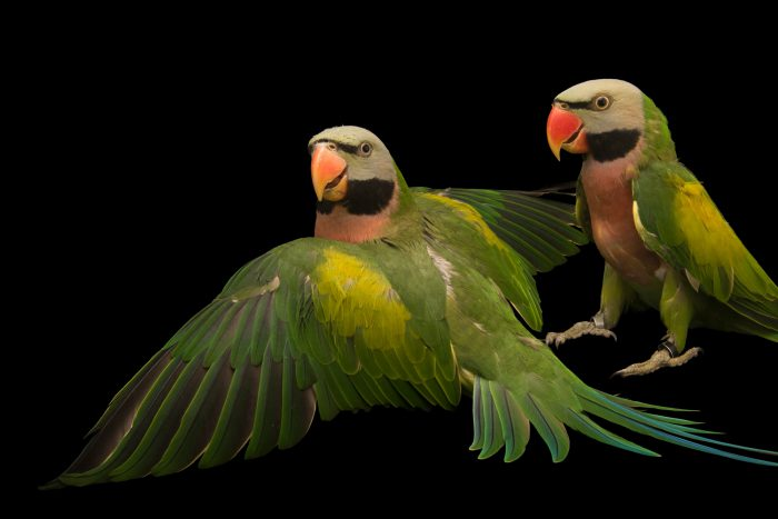 Photo: Moustached parakeets, Psittacula alexandri dammermani, at Loro Parque Fundacion.