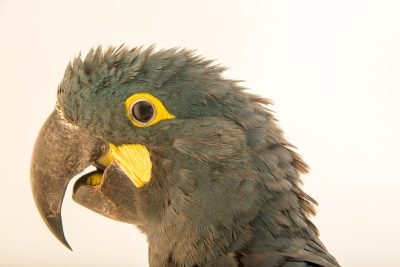 Photo: A Lear's macaw, Anodorhynchus leari, at Loro Parque Fundacion.