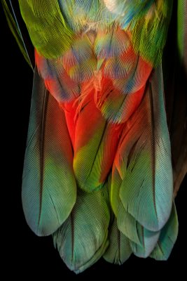 Photo: The tail of a blue breasted parrot, Pionus reichenowi, at Loro Parque Fundacion.