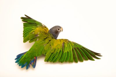 Photo: A blue breasted parrot, Pionus reichenowi, at Loro Parque Fundacion.