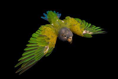 Photo: A blue breasted parrot, Pionus reichenowi, at Loro Parque Fundacion.