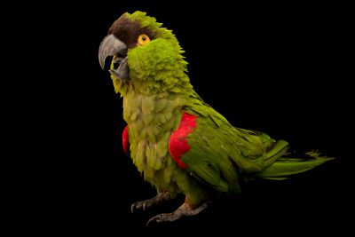Photo: A maroon fronted parrot, Rhynchopsitta terrisi, at Loro Parque Fundacion.