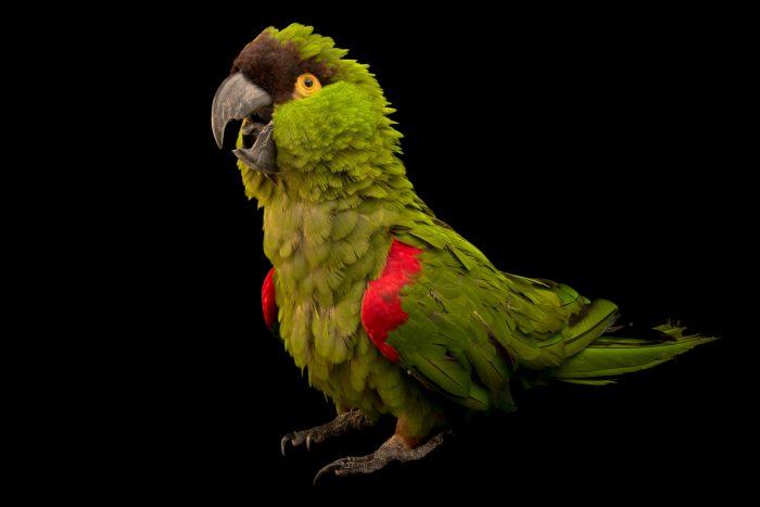 Photo: A maroon fronted parrot, Rhynchopsitta terrisi, at Loro Parque Fundacion.