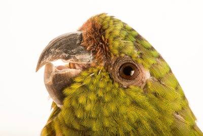Photo: An austral parakeet, Enicognathus ferrugineus, at Loro Parque Fundacion.