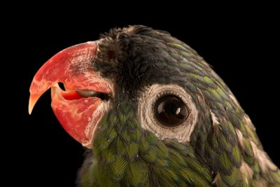 Photo: A red-billed parrot, Pionus sordidus corallinus, at Loro Parque Fundacion.