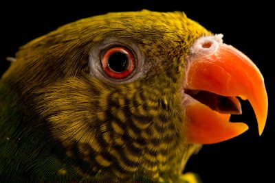 Photo: A mustard capped lorikeet, Trichoglossus meyeri, at Loro Parque Fundacion.