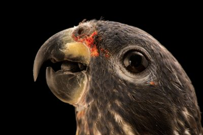Photo: A dusky parrot (Pionus fuscus) at Loro Parque Fundacion.
