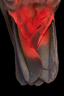 Photo: The tail feathers of a dusky parrot (Pionus fuscus) at Loro Parque Fundacion.