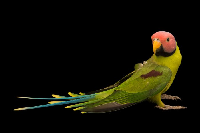 Photo: A blossom headed parakeet (Psittacula roseata roseata) at Loro Parque Fundacion.