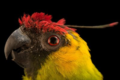 Photo: A horned parakeet (Eunymphicus cornutus) at Loro Parque Fundacion.