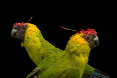 Photo: Horned parakeets (Eunymphicus cornutus) at Loro Parque Fundacion.
