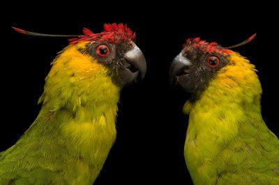 Photo: Horned parakeets (Eunymphicus cornutus) at Loro Parque Fundacion.