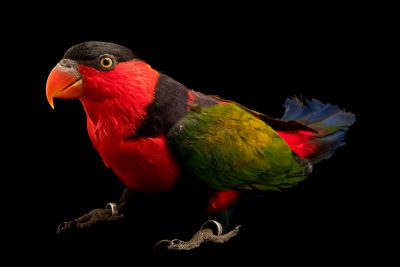 Photo: A black capped lory (Lorius lory salvadorii) at Loro Parque Fundacion.