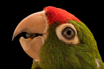 Photo: A cordilleran parakeet (Psittacara frontatus minor) at Loro Parque Fundacion.