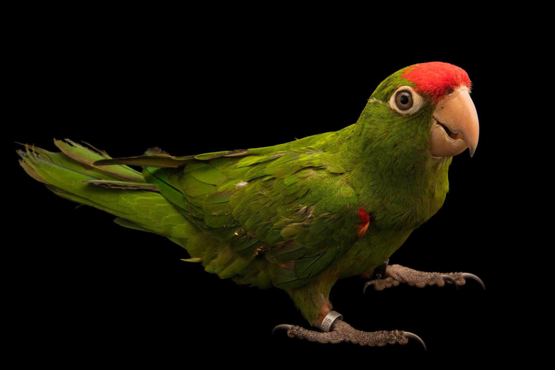 Photo: A cordilleran parakeet (Psittacara frontatus minor) at Loro Parque Fundacion.