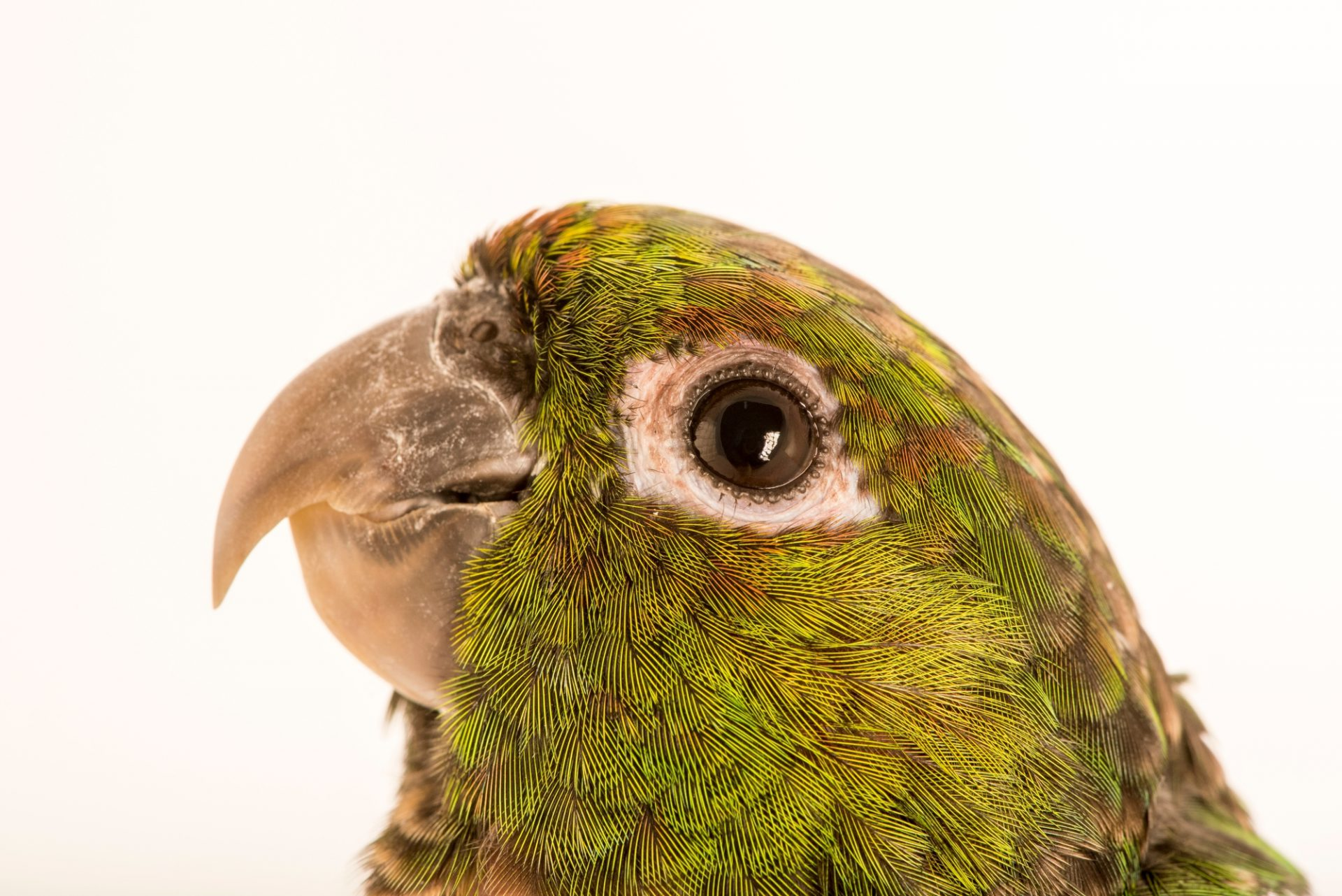 Photo: A choco parakeet (Pyrrhura pacifica) at Loro Parque Fundacion.