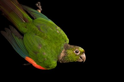 Photo: A choco parakeet (Pyrrhura pacifica) at Loro Parque Fundacion.