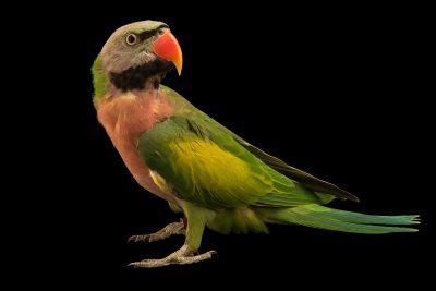 Photo: A moustached parakeet (Psittacula alexandri fasciata) at Loro Parque Fundacion.