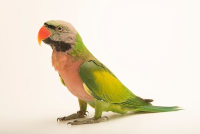 Photo: A moustached parakeet (Psittacula alexandri fasciata) at Loro Parque Fundacion.