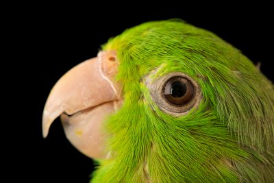 Photo: Green rumped parrotlet (Forpus passerinus deliciosus) at Loro Parque Fundacion.