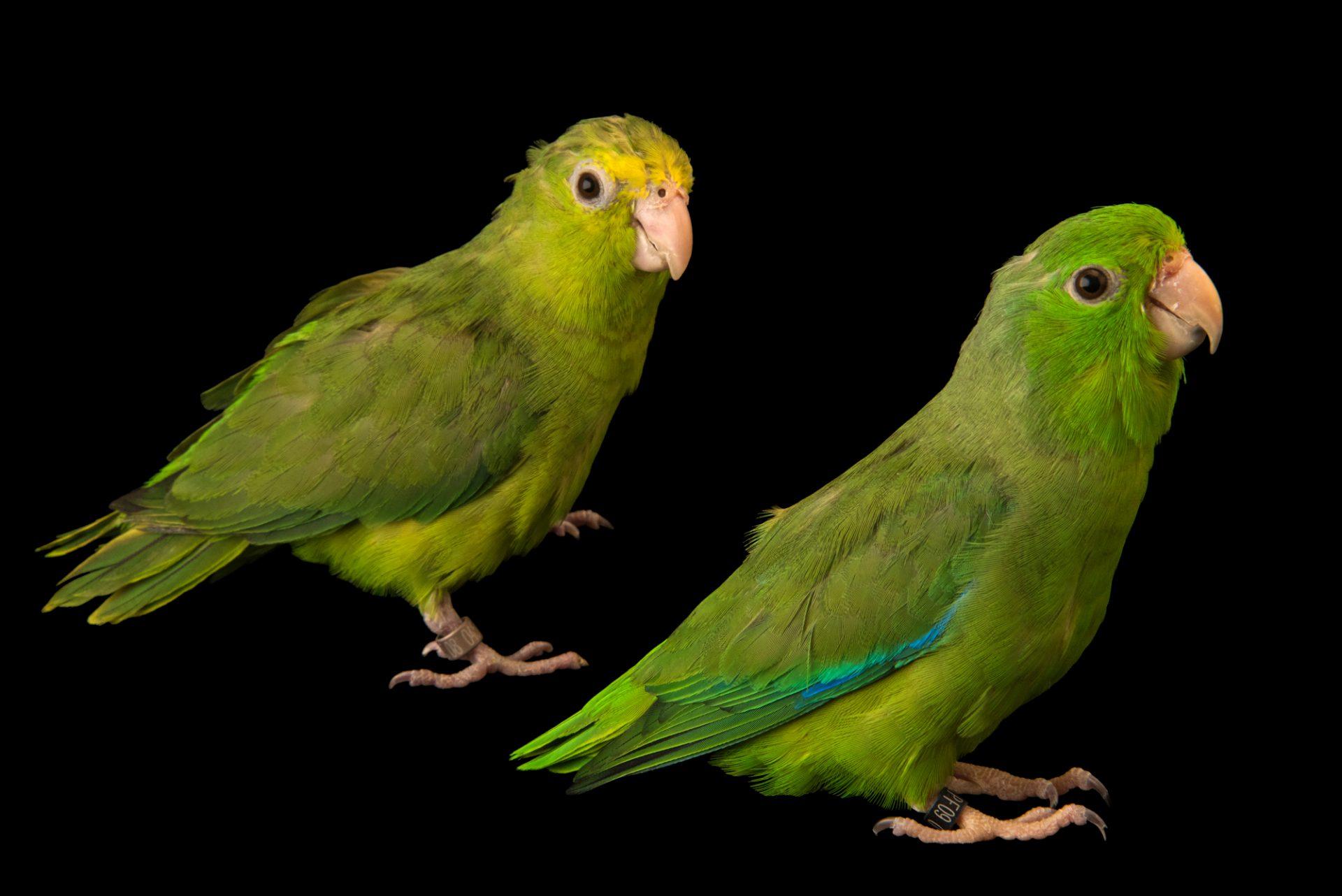 Photo: Male and female green rumped parrotlets (Forpus passerinus deliciosus) at Loro Parque Fundacion.
