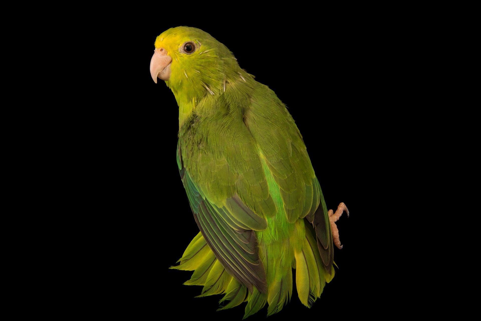 Photo: Turquoise winged parrotlet (Forpus spengeli) at Loro Parque Fundacion.