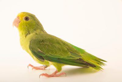 Photo: Turquoise winged parrotlet (Forpus spengeli) at Loro Parque Fundacion.