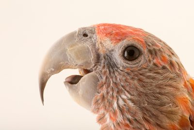 Photo: Brown necked parrot (Poicephalus fuscicollis fuscicollis) at Loro Parque Fundacion.