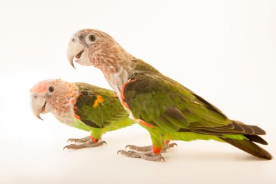 Photo: Brown necked parrots (Poicephalus fuscicollis fuscicollis) at Loro Parque Fundacion.