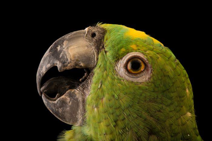 Photo: Yellow fronted amazon (Amazona ochrocephala nattereri) at Loro Parque Fundacion.