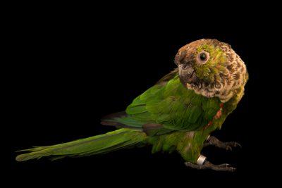 Photo: Black capped parakeet (Pyrrhura rupicola sandiae) at Loro Parque Fundacion.