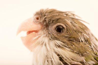 Photo: Aymara parakeet (Psilopsiagon aymara) at Loro Parque Fundacion.