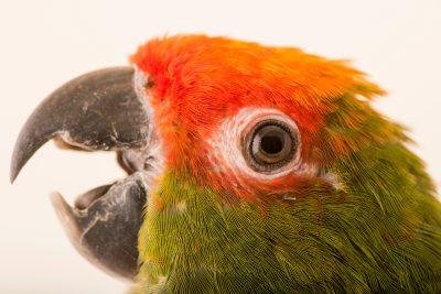 Photo: Golden capped parakeet (Aratinga auricapilla auricapilla) at Loro Parque Fundacion.