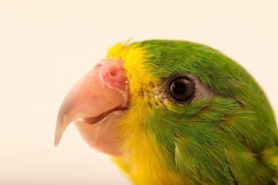 Photo: Mountain parakeet (Psilopsiagon aurifrons aurifrons) at Loro Parque Fundacion.