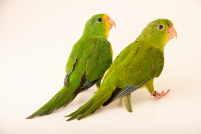 Photo: Mountain parakeets (Psilopsiagon aurifrons aurifrons) at Loro Parque Fundacion.
