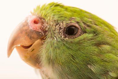 Picture of a Mountain parakeet (Psilopsiagon aurifrons rubrirostris) at Loro Parque Fundacion.
