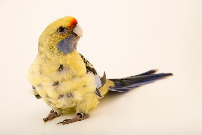 Photo: Yellow rosella (Platycercus elegans flaveolus) at Loro Parque Fundacion.