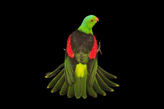 Photo: Red winged parrot (Aprosmictus erythropterus coccineopterus) at Logo Parque Fundacion.