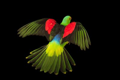 Photo: Red winged parrot (Aprosmictus erythropterus coccineopterus) at Logo Parque Fundacion.