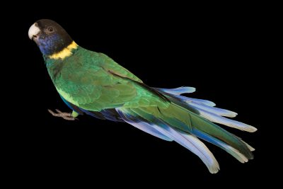 Photo: Port Lincoln ringneck (Barnadius zonarius zonarius) at Loro Parque Fundacion.
