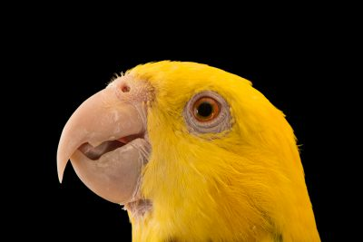 Photo: Tres Marias amazon (Amazona oratrix tresmariae) at Loro Parque Fundacion.