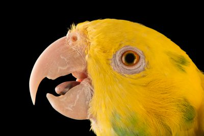 Photo: Western yellow headed amazon (Amazona oratrix oratrix) at Loro Parque Fundacion.